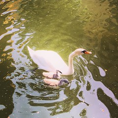 There's a new family of swans and cygnets on the Regents Canal (galvogalvo) Tags: new family canal swans cygnets regents theres instagram