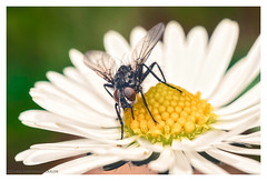 Dinner served: Pollen with nectar sauce (s1nano) Tags: white flower macro yellow bug insect fly dof bokeh daisy handheld pollen diptera m42lens industar502f35 nikond7000 36mm12mmextension