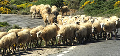 Let's get the flock (Tony Shertila) Tags: road travel sky mountain building weather animal geotagged europe day sheep outdoor flock tourist clear greece crete herd sitia grc geo:lat=3509020636 geo:lon=2607270241 pappagianndes 20160413153842