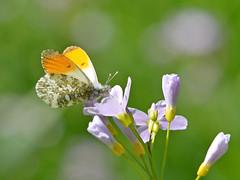 Oranjetipje (diederickmeinen) Tags: vlinders