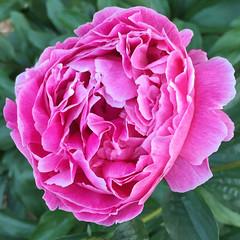 perfect peony (mimbrava) Tags: pink flower peony mimbrava arr allrightsreserved mimbravastudio mimeisenberg