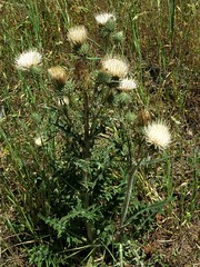 Cirsium cymosum, PEREGRINE THISTLE (openspacer) Tags: thistle cirsium asteraceae henrycoestatepark orestimbawilderness