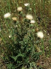 Cirsium cymosum, PEREGRINE THISTLE (openspacer) Tags: thistle cirsium asteraceae henrycoestatepark orestimbawilderness