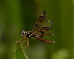 Dragonflies -25 (jimlustgarten) Tags: dragonflies lustgarten
