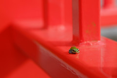 4 (  / Yorozuna) Tags: red color green shrine frog niigata   treefrog vermilion yellowgreen nagaoka         inarishrine     hylajaponica   japanesetreefrog     pentaxautotakumar55mmf18   houtokusaninaritaisha houtokusaninarishrine