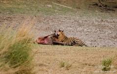 _DSC9352 (1280x807) (www.thetravelinfo.net) Tags: tiger ranthambhore tigerkill