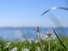 About half a wish left (Wouter de Bruijn) Tags: flower nature grass landscape spring outdoor dandelion fujifilm xt1 fujinonxf35mmf14r