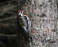 *** Pic macul male (ricketdi) Tags: bird pic sapsucker yellowbelliedsapsucker cantley picmacul