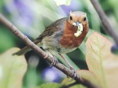 Robin in 'Red Robin'(Photinia) (RicTay) Tags: bird nature robin caterpillar redrobin shrub kitchenwindow grub photinia robinredbreast