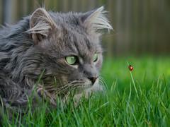 May your week be full of lovely encounters (FocusPocus Photography) Tags: pet grass animal cat garden chat lawn wiese gato ladybug gras katze garten haustier kater encounter tier rasen fynn marienkfer begegnung fynnegan