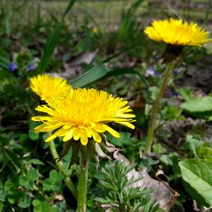 (mariamkhutsishvili33) Tags: flower green nature yellow outdoor dandelion squarephotography instagram
