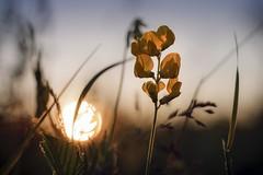 The playful sun (frantiekl) Tags: life flowers light sunset sun detail evening bokeh creative meadow bohemia goldenhour colorsofnature