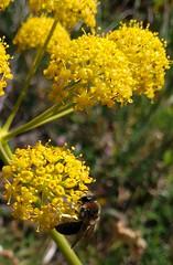Na Ursa (LuPan59) Tags: flora ursa lupan59