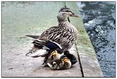 Famiglia al lago (Alfoja) Tags: italy lago italia foglia luciano lagomaggiore verbano anatre visitpiedmont lucianofoglia visitpiedmontitaly