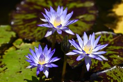 Monday Blues! (ineedathis,The older I get the more fun I have....) Tags: flowers blue summer plant nature water beauty yellow garden petals pond waterlily lily blossom pistil exotic tropical lilypads aquaticplant starofsiam nympaea  nikond750