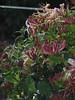 Wet honeysuckle (bryanilona) Tags: flowers rain garden honeysuckle fantasticflower languageofflowers saveearth flowerwatcher naturewatcher exceptionalflowers
