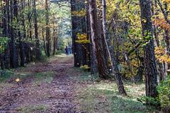 Haciendo camino (cmarga28) Tags: monte montaa pinos arboles bosque hojas otoo amarillo paseando camino lejos perspectiva caminantes paisaje espaa leon picosdeeuropa naturaleza paseo photography photographers europe nikon digital belleza raw d750 color verde green