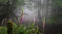 Forest Fairies (Jesus Bravo) Tags: misty fog forest mood country foggy digitalis basque gorbeia purpurea gorbe