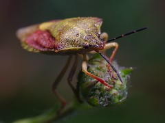 DSCF7596 (faki_) Tags: insect fuji fujifilm 24 60 250 dcr rovar xe1 raynoxdcr250 fujinonxf60mmf24rmacro