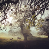 Zoomed in to get a closer look at the cow and the goat (VillaRhapsody) Tags: tree foggy mist morning sunrise animals farm rural field challengeyouwinner cyunanimous cy2