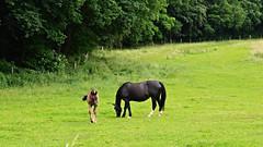 Pferde (Tobi NDH) Tags: horse nature animal caballo cheval countryside natur cal cavallo cavalo pferd tier hest hevonen paard koppel hst fohlen  l ko stute k konj  k nga at hauspferd nutztier equusferuscaballus