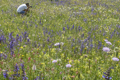 Castelluccio (8) (mauro_pet) Tags: fiori castelluccio fioritura