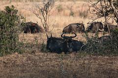 Wildebeest (crafty1tutu (Ann)) Tags: travel wild holiday animal southafrica outdoor gnu wildebeest 2014 anncameron inthewild roamingfree canon100400mmlens canon7d naturethroughthelens crafty1tutu naturescarousel