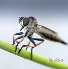 Mosca asesina (javiblue25) Tags: espaa naturaleza macro animal zaragoza bicho insecto macrofotografa