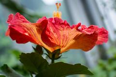 hibiscus (jojoannabanana) Tags: flower color petals hibiscus warmcolors lambertonconservatory
