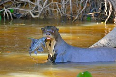 Giant Otter (Pteronura brasiliensis) with a Vermiculated Sailfin Catfish (Pterygoplichthys disjunctivus) (berniedup) Tags: pantanal portojofre poconé giantotter pteronurabrasiliensis sailfincatfish pterygoplichthys otter taxonomy:binomial=pteronurabrasiliensis loricariidae animal carnivore vermiculatedsailfincatfish pterygoplichthysdisjunctivus taxonomy:binomial=pterygoplichthysdisjunctivus riosãolourenço catfish