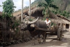 32-169 (ndpa / s. lundeen, archivist) Tags: rural village people nick dewolf nickdewolf 32 reel32 color photographbynickdewolf 1970s 1972 fall film 35mm winter republicofchina taiwan taiwanese eastcoast easterntaiwan hualien hualiencounty easterncoast rurallife unidentified driver cart wagon animal ox horns oxdrawn road dirtroad building buildings house houses home homes thatchroof thatchedroof china chinese oxcart buffalo 1973