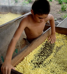 DSC09391 (aureaalmeidas) Tags: familia agricultura farinha produo peneira