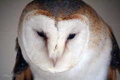 Common Barn Owl (Arisu Saktos) Tags: bird closeup eyes beak owl prey commonbarnowl