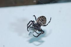 Walnut Supper (Procrustes2007) Tags: uk england spider suffolk britain wildlife arachnid flash nikond50 sudbury wildlifephotography nucteneaumbratica tamron2xteleconverter nikkor50mmais walnutorbweb vivitarextensionrings68mmtotal d50nocturnalmacro