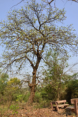 kumbhi tree_Careya arborea_Lecythidaceae_Aarey_2014 03 30 (11) e (Shubhada Nikharge) Tags: tree native deciduous indigenous lecythidaceae aarey aareymilkcolony careyaarborea kumbhi aareycolony mumbaiflora nativetoindia floraofmumbai