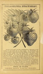 n31_w1150 (BioDivLibrary) Tags: trees fruits seeds catalogs fruittrees nurserieshorticulture commercialcatalogs henryadreer usdepartmentofagriculturenationalagriculturallibrary bhlgardenstories bhlinbloom bhl:page=42697264 dc:identifier=httpbiodiversitylibraryorgpage42697264