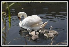 NKD_1861 (charlesvanlangeveld) Tags: swans zwaan jongen zwanen