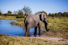 Elephant In The Okavango Delta, Botswana