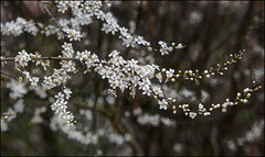 Black thorn blossom (alanhitchcock49) Tags: park signs march spring valley arrow 13 redditch 2015 of