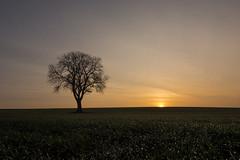 Lonely sunrise (grbush) Tags: morning sun tree field sunrise dawn countryside farm bedfordshire dew minimalism solitary lonetree daybreak swineshead tokinaatx116prodxaf1116mmf28 sonyslta77