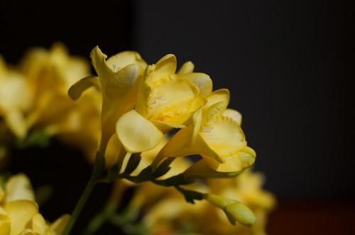 Freesia close up ©  Still ePsiLoN