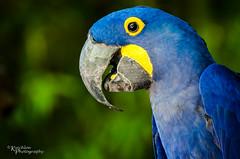 Ft. Worth Zoo - Hyacinth Macaw (kinchloe) Tags: blue bird zoo texas tx parrot dfw ftworth macaw fortworth 2012 ftworthzoo hyacinthmacaw