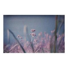 (a l k o i p a) Tags: flowers film analog 35mm violet dry fujifilm zenit otranto salento sud pellicola zenitet fujicolorsuperiaxtra400 cavabauxite