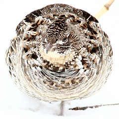 Ruffed Grouse in the round (#1433) (protophotogsl) Tags: winter mars snow ontario bird ball circle square march cornwall hiver neige oiseau boule cercle carr ruffedgrouse snowmobiletrail protophotogsl southstormont seaway12 img2658crop
