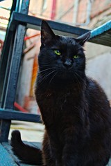Black Cat (tatsuya.ouchi) Tags: old cats black color cute eye animal animals tom female cat blackcat pose mammal losangeles cool feline adult feminine tabby vivid grace calm greeneye serene aged elegant gentle noble gallant composed felidae