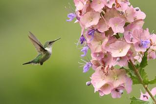 Mellisuga minima minima - Vervain Hummingbird