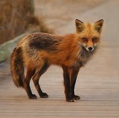 Fire Island Fox (NYRBlue94) Tags: ocean wild lighthouse beach animal island fire path fox sly seashore