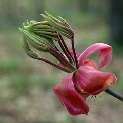 Carya species (Eric Hunt.) Tags: red leaf spring emerging hickory carya bract juglandaceae
