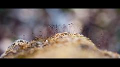 Tiny world (elkarrde) Tags: plants macro nature forest landscape lumix moss spring dof bokeh widescreen croatia olympus depthoffield panasonic tiny growing 45mm shallowdepthoffield twop shallowdof 2015 cinemacrop gf1 macrolandscape 2391 jastrebarsko bokehlicious tinylandscape location:country=croatia dofalicious mzuiko dmcgf1 panasoniclumixdmcgf1 panasonicgf1 camera:model=dmcgf1 olympusmzuikodigital45mm118 lens:brand=olympus spring2015 location:city=jastrebarsko camera:brand=panasonic camera:format=microfourthirds lens:focallength=45mm lens:maxaperture=18 lens:name=mzuikodigital45mm118 lens:format=microfourthirds