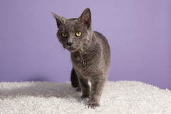 Posie (trinabauer) Tags: cats purple 4 april backdrop posie 2015 adoptables pawsadoptablescatsapril42015purplebackdropbirthday partpaws birthdaypartykittens